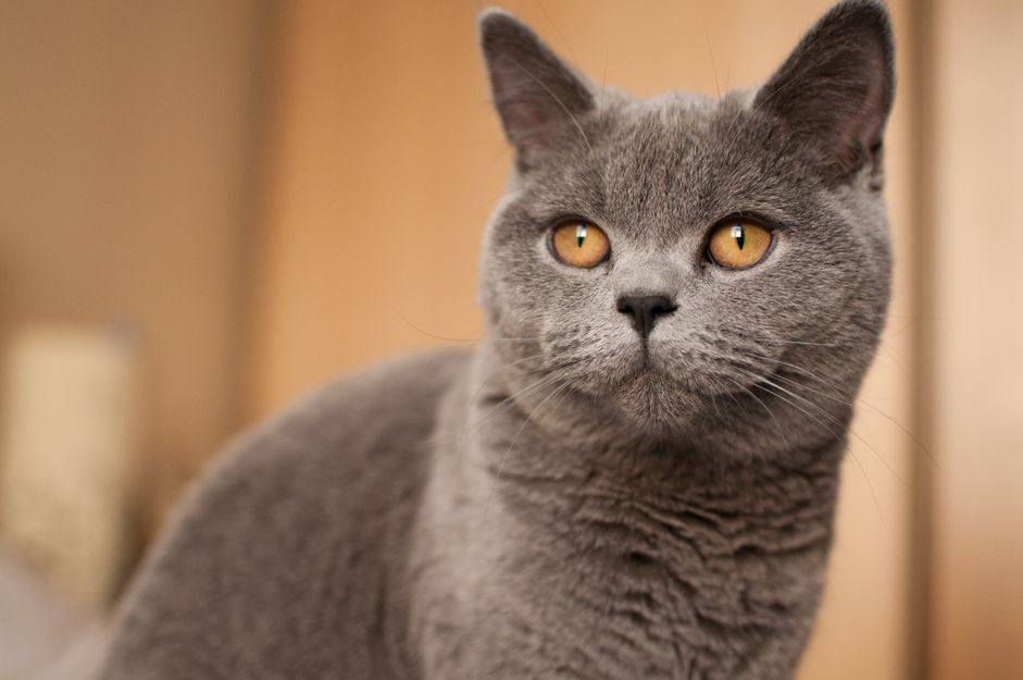 Grey cat with gold eyes looks at camera; British short hair