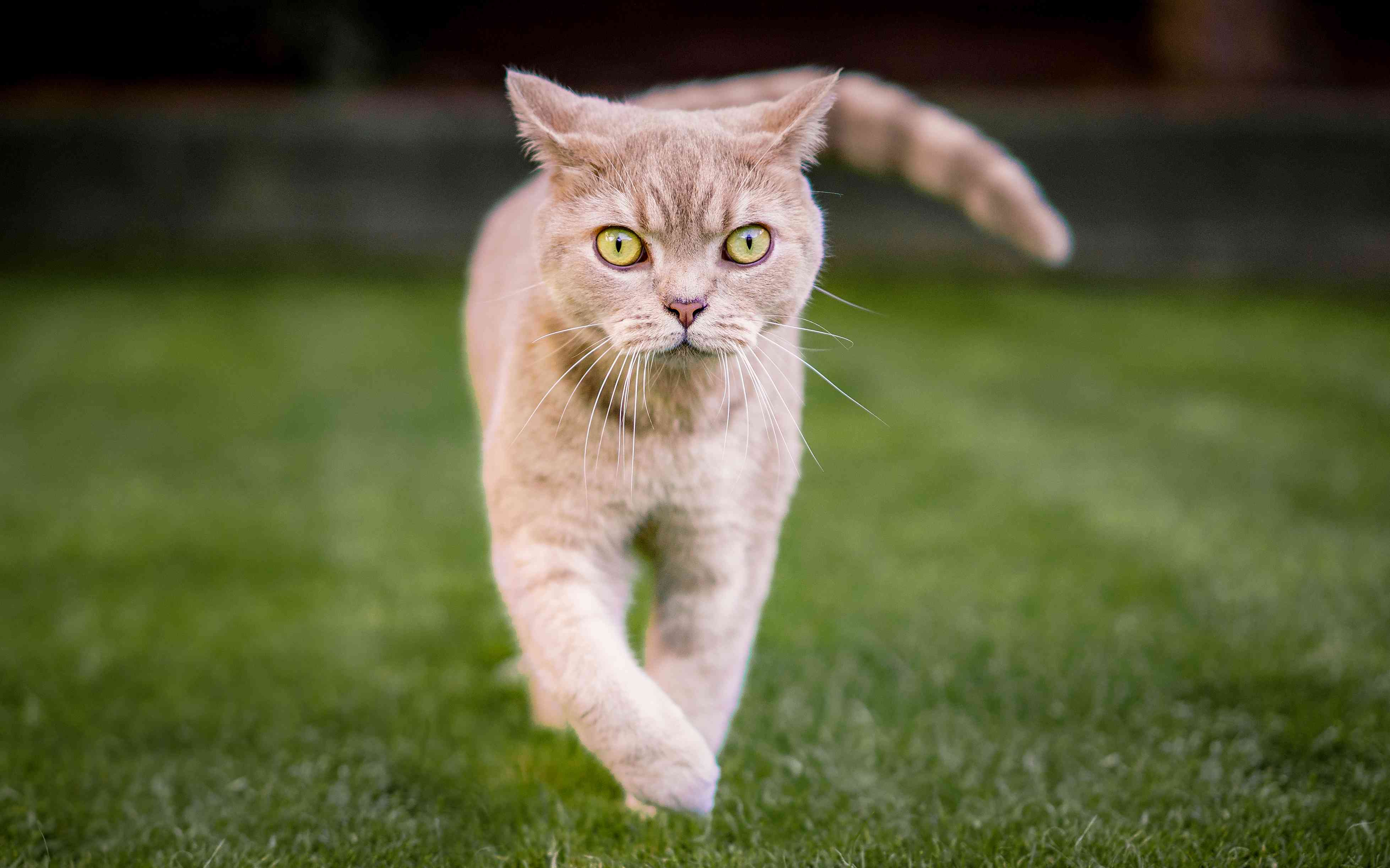 Tabby Brite Shorthair Walking on grass