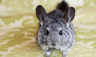 How to Care for a Pet Chinchilla