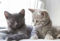 8 British Cat Breeds