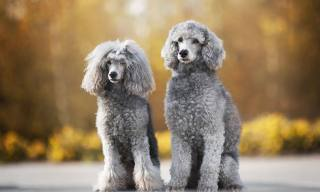 11 Big Dog Breeds That Don't Shed