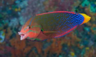 Yellowtail Coris and Red Wrasse Fish Breed Profile