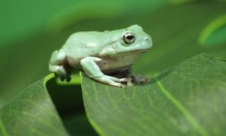 A Guide to Caring for Pet White's Tree Frogs