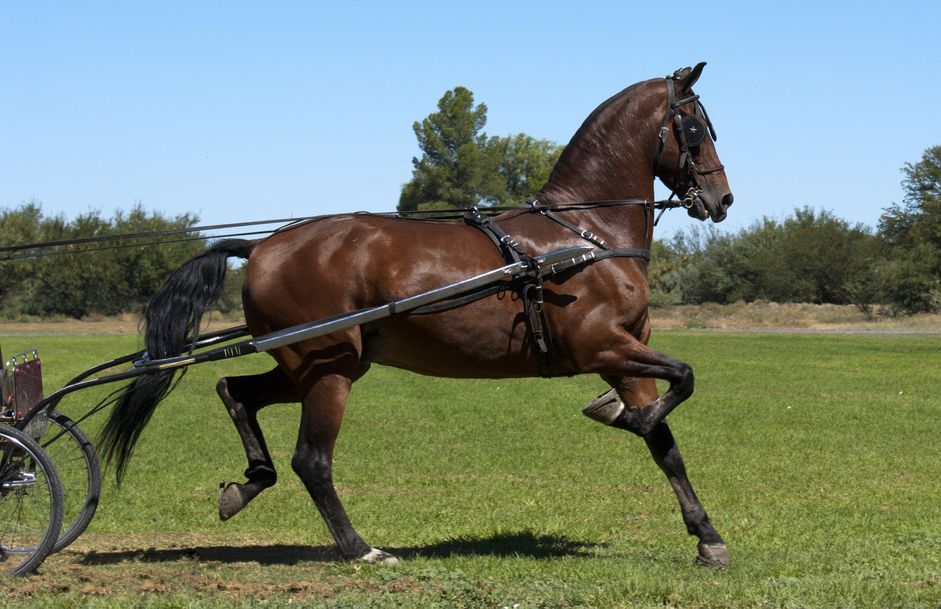 American Saddlebrash Horse Breed Profil