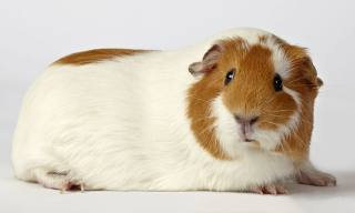 Zystische Ovarien in Guinea Pigs Ovary Issues