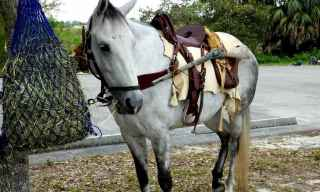 Florida Cracker Horse Breed Profil