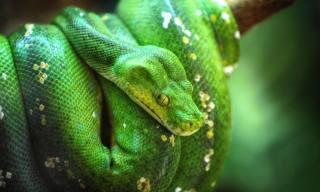 A Guide to Caring for Green Tree Python as Pets
