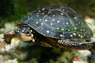 A Guide to Caring for Pet Spotted Turtles