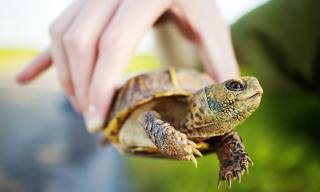 A Guide to Caring for North American Pet Box Schildkröten
