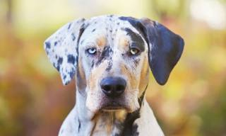 How to Care for a Catahoula Leopard Dog