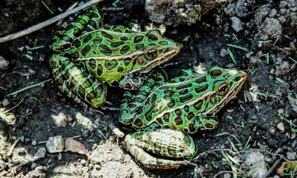 A Guide to Caring for Leopard Frogs as Pets