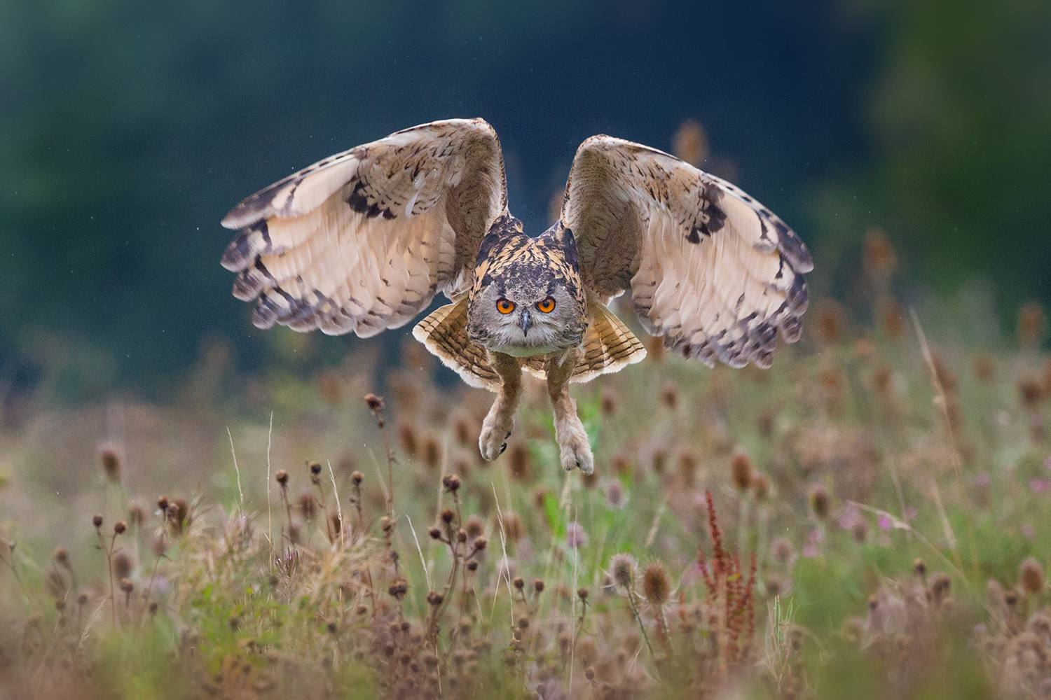 Eagle Owl Flying Over Field
