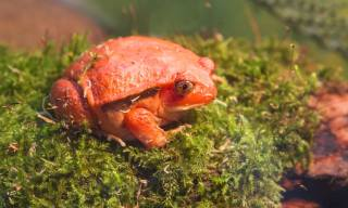 A Guide to Caring for Tomato Frogs as Pets