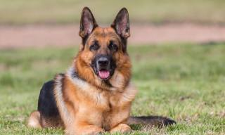 The 7 Adorable Shepherd Dog Breeds to Know