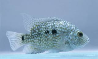 Texas Cichlid Fish Breed Profil