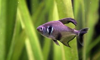 Profil der Black Phantom Tetra Fish Breed