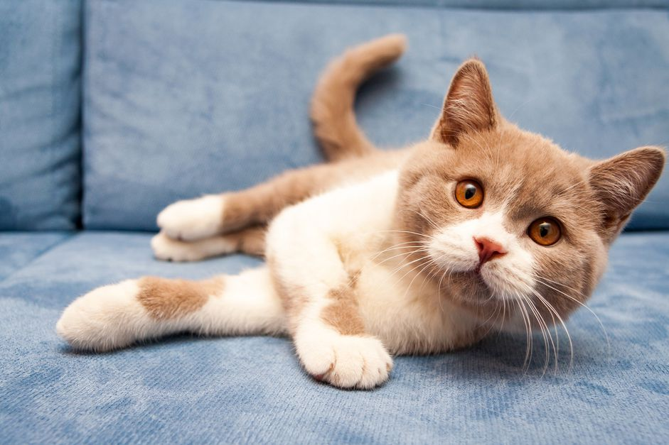 Orange British Shorthair Cat liegt auf der Couch