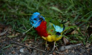 Scarlet Chested Parakeets als Haustiere – Art Profil