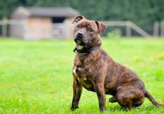 Brindle Dog Züchter