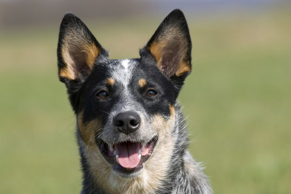 Australian Cattle Dog, Portrait