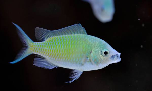 Blue Green Chromis Fish (Chromis viridis) Species Profile