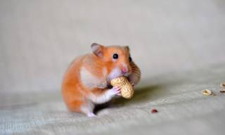 Hamster Cheek Pouches and Diseases