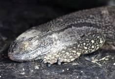 A Care Guide for Pet Black-Throated Monitor Lizards