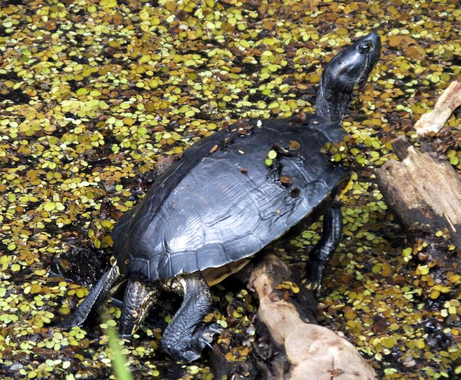 A Guide to Caring for Common Moschus Schildkröten als Haustiere