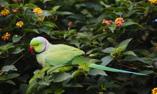 5 Fun Facts About Indian Ringneck